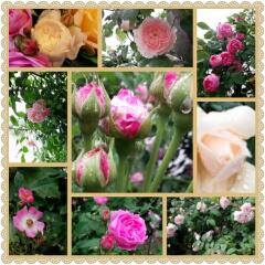 薔薇のお庭訪問 ♬